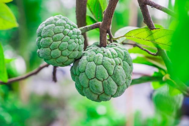 Zuckerapfel- oder vanillepuddingapfelfrüchte