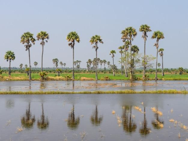 Zuckerpalme (borassus flabellifer) auf reisfeld in thailand