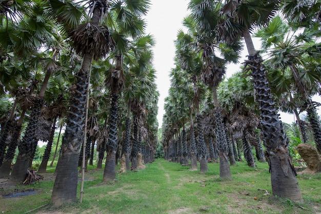 Zuckerpalme im garten, phetchaburi-provinz thailand