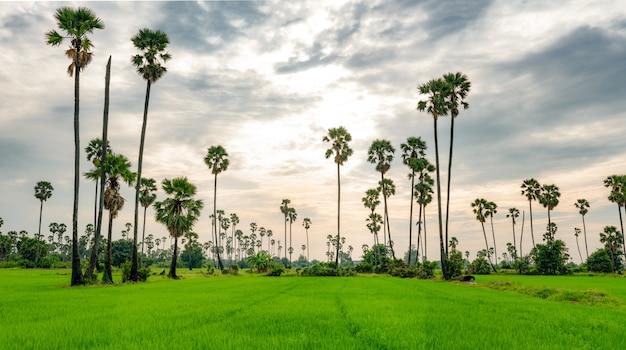 Zuckerpalme und reisfeld in thailand mit schönem sonnenuntergangshimmel. schönes muster des zuckerparmes. grüner reisbauernhof im sommer. landschaft des ländlichen reisfeldes.