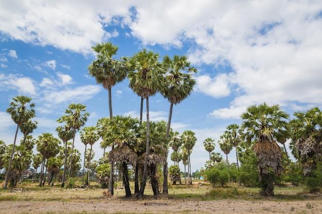 Zuckerpalmen (borassus flabellifer) asiatische palmyra-palme, toddy-palme, zuckerpalme