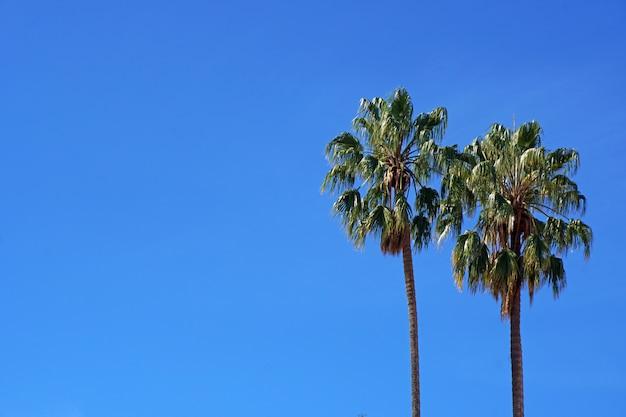 Zuckerpalmen mit klarem blauem himmelhintergrund - sommersaison