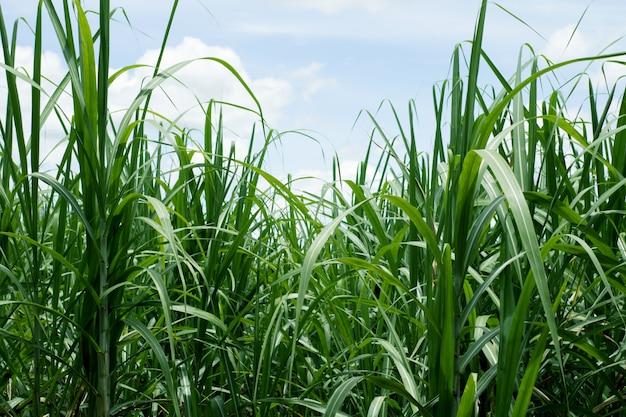 Zuckerrohr flog mit dem blauen himmel für hintergrund