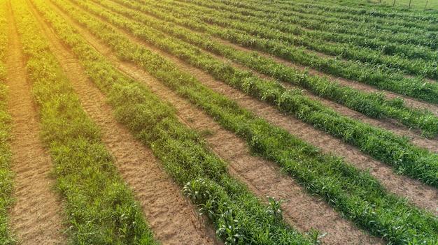 Zuckerrohr hasvest plantagenantenne. luftdraufsicht von feldern einer landwirtschaft. zuckerrohrfarm.