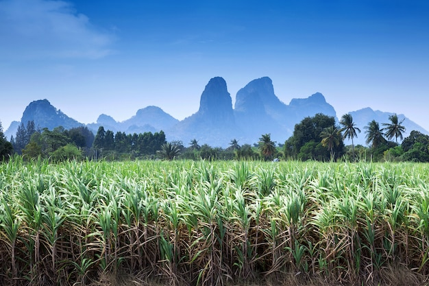 Zuckerrohr ist ein bergiger hintergrund.