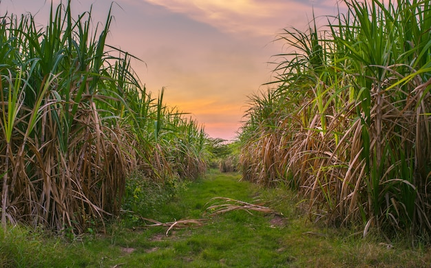 Zuckerrohr mit landschaftssonnenunterganghimmelphotographien-naturhintergrund.