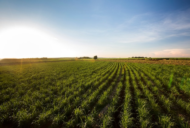 Zuckerrohrfeld bei sonnenuntergang