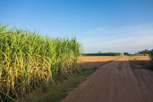 Zuckerrohrfeld mit naturhintergrund des blauen himmels.