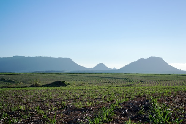 Zuckerrohrplantage bei sonnenaufgang
