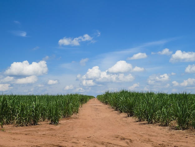 Zuckerrohrplantage mit straße in der mitte und schönem blauen himmel mit wolken