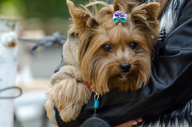 Zufriedener hund yorkshire terrier in den armen seiner geliebten geliebten. porträt von yorkshire-terrier in den händen des besitzers.