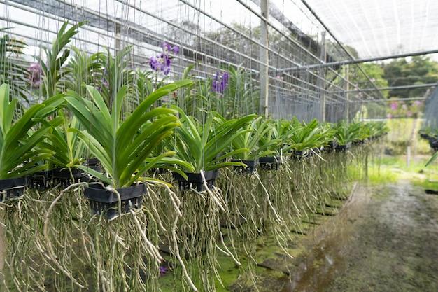 Zum verkauf angebaute orchideen werden kommerziell angebaut.