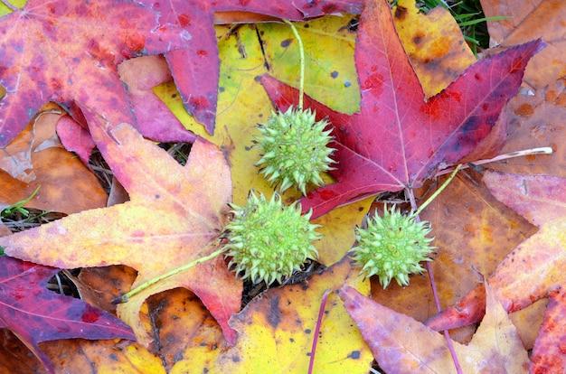Zusammensetzung von früchten des liquidambar (liquidambar styraciflua) auf blättern mit herbstfarben