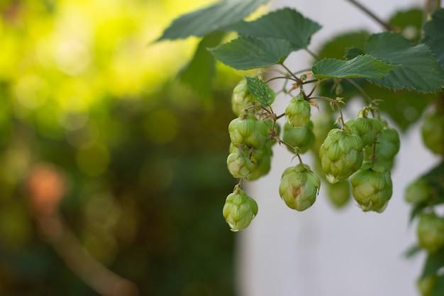 Zutat für die herstellung von hefe und bier, hopfen für grüne kletterpflanzen, selektiver fokus