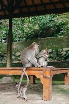 Zwei affen im wald ubud bali indonesien. affen kratzen sich gegenseitig am rücken.
