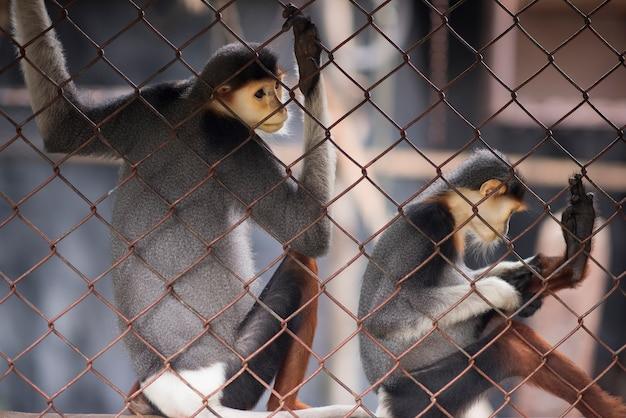 Zwei affen sind in einem zoo mit einer stacheldrahtsperre