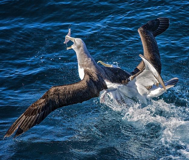 Zwei albatrosse, die um nahrung im ozean im hafen von wellington, neuseeland kämpfen