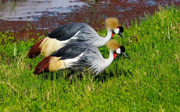Zwei alte krane am ufer des teiches. sweetwater, kenia