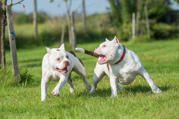 Zwei amerikanische bullywelpen im gras