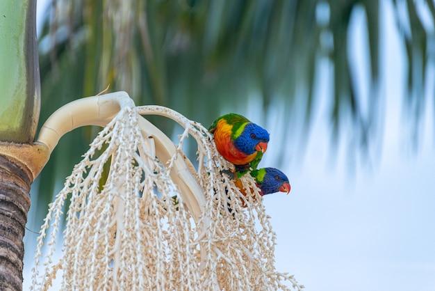 Zwei australische lorikeets, die auf palme sitzen. tierkonzept.lis