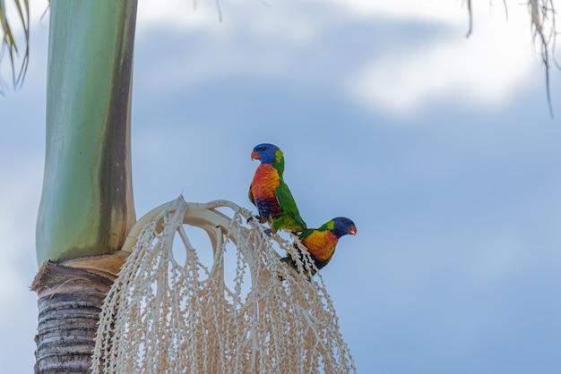 Zwei australische regenbogenlorikeets, die auf palme sitzen. tierkonzept