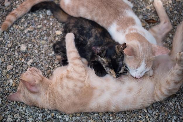 Zwei babykätzchen, die milch trinken. mutterkatze, die ihre kinder im freien pflegt.