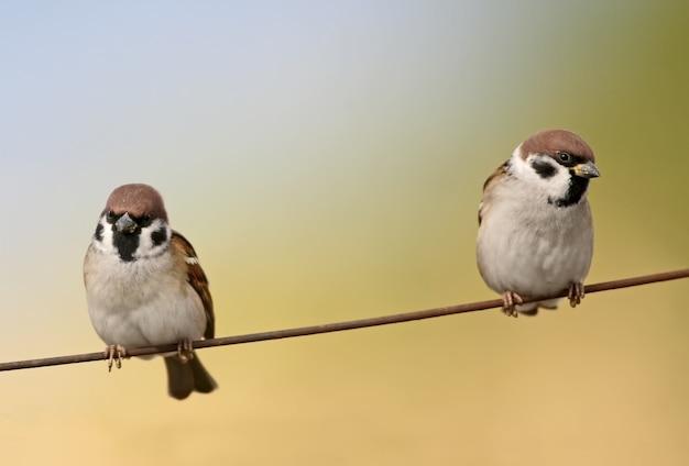 Zwei baumsperlinge sitzen auf dem draht
