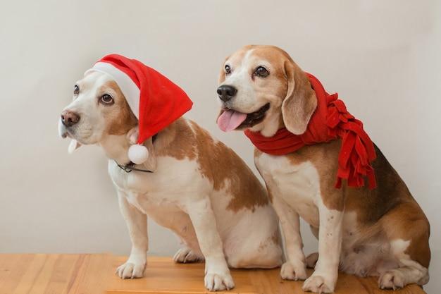 Zwei beagle-hunde in weihnachtsmütze und rotem schal