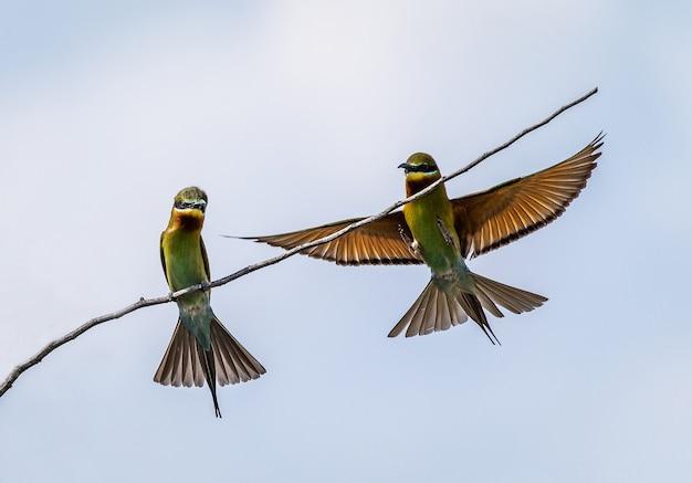 Zwei bienenfresser auf einem zweig gegen einen hellblauen himmel sri lanka yala national park