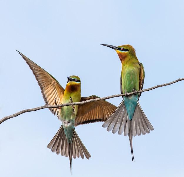 Zwei bienenfresser auf einem zweig gegen einen hellblauen himmel yala national park