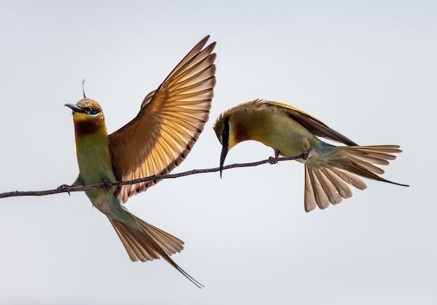 Zwei bienenfresser auf einem zweig yala national park