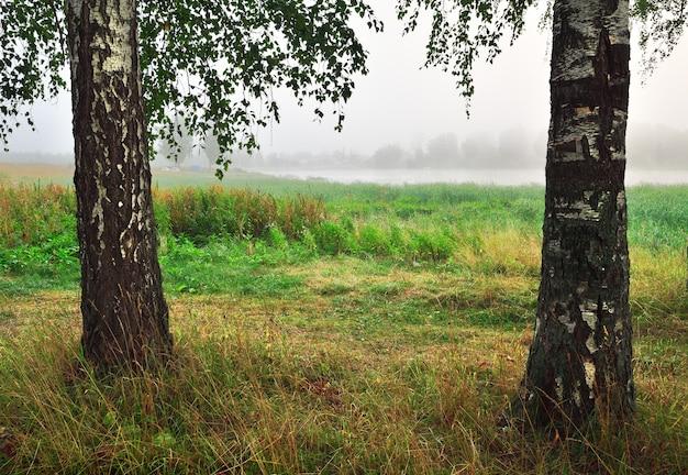 Zwei birken im nebel