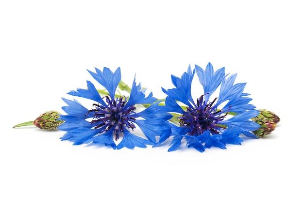 Zwei blaue kornblumen auf weißem hintergrund