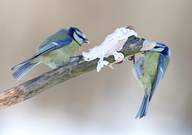 Zwei blaue titten sitzen auf einem ast in der nähe eines stückes schweinefett
