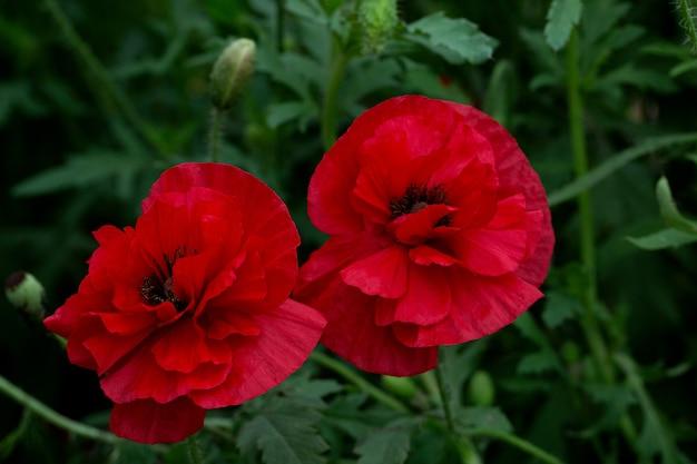 Zwei blühender roter mohn im garten