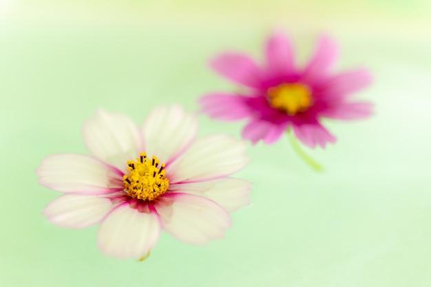 Zwei blumen namens garden cosmos schweben über dem wasser