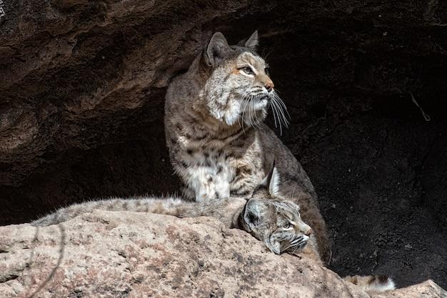 Zwei bobcats auf einer leiste, eine stehend und eine liegend