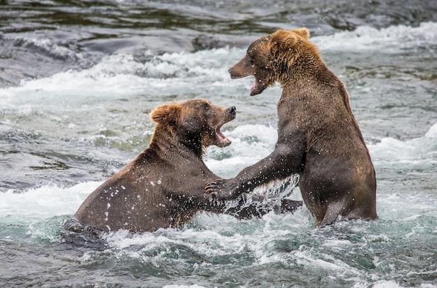 Zwei braunbären spielen im wasser miteinander