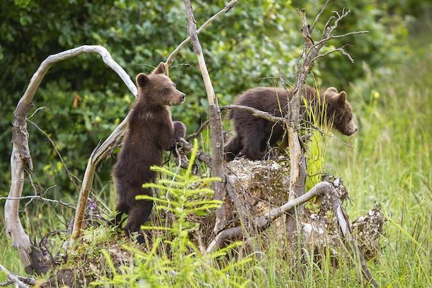 Zwei braunbärenjungen, die entwurzelten baum im wald klettern