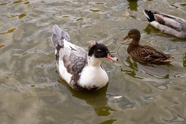 Zwei braune enten mit haube schwimmen im teich