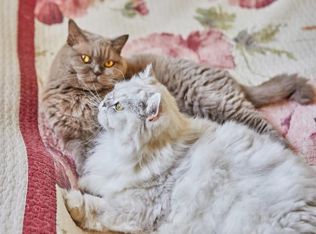 Zwei britische katzen, langhaarig und kurzhaarig, schauen aus dem fenster auf dem bett.