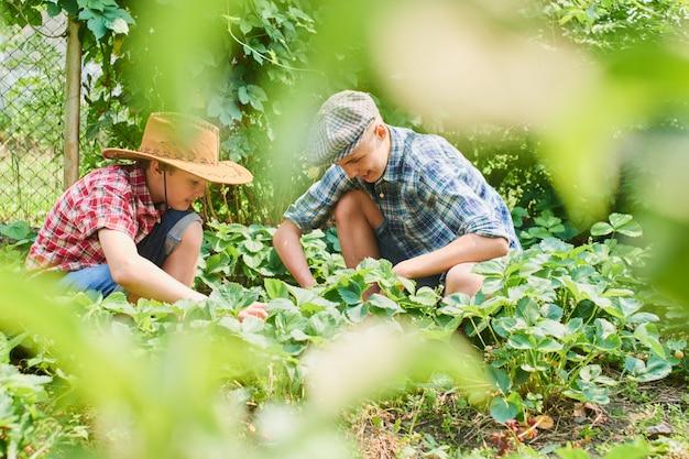 Zwei brüder ernten erdbeeren im dorf