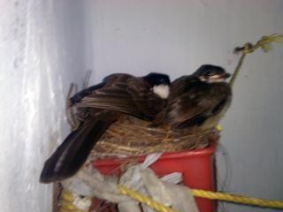 Zwei bulbul vögeln