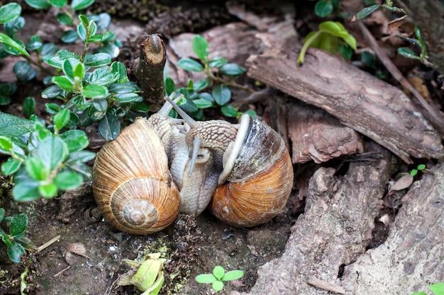 Zwei burgunderschnecken (helix pomatia), die auf einem natürlichen hintergrund matten
