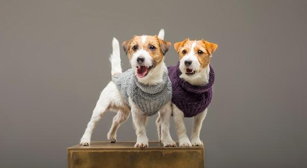 Zwei charmante jack russell posieren im studio in warmen pullovern