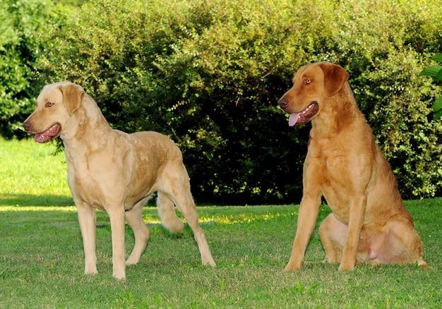 Zwei chesapeake bay retriever-hunde