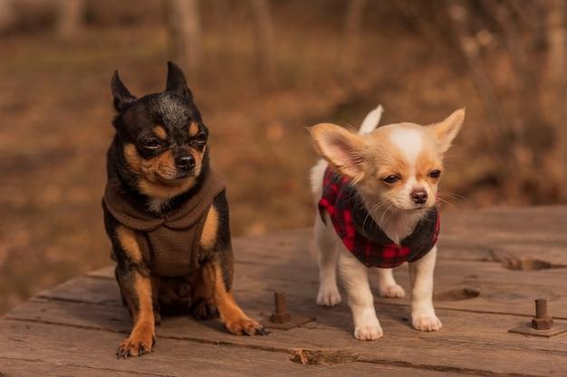 Zwei chihuahua-hunde auf einer holzbank. gekleidete hunde. haustiere für einen spaziergang an einem sonnigen tag. chihuahua, haustier