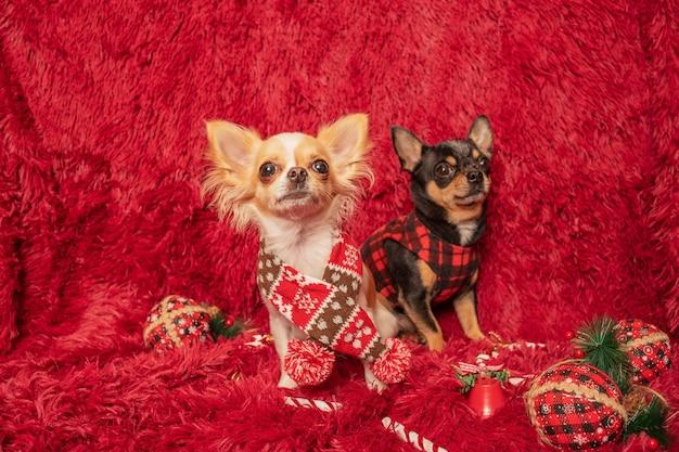 Zwei chihuahua-hunde in kleidung zu hause auf einer decke. neujahrs- und weihnachtskonzept.