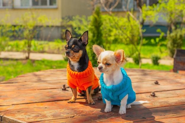 Zwei chihuahua-hunde sitzen auf einem gartentisch. chihuahua in blauen und orangefarbenen pullovern. frühling