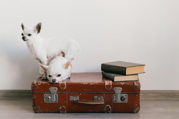 Zwei chihuahuawelpen, die auf koffer liegen